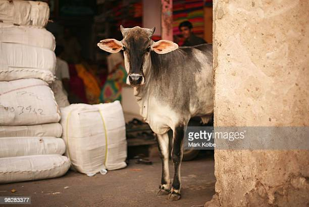 A cow is seen in an alley near the local markets in the walled city centre on April 6 2010 in Jaipur India Jaipur which is the captial city of...