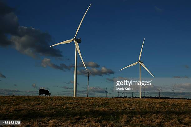 A cow is seen in front of wind turbines in the late afternoon at the Taralga Wind Farm on August 31 2015 in Taralga Australia Located in the Southern...