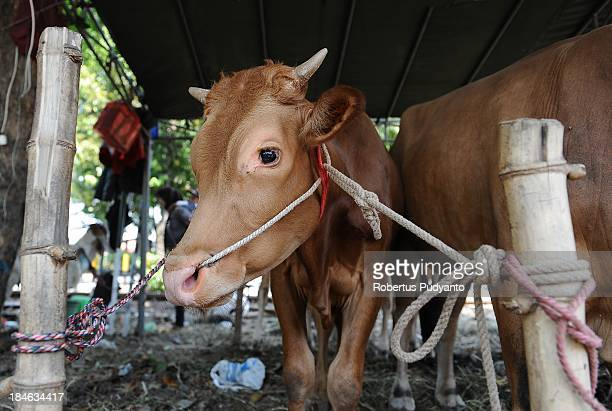A cow is tied up for sale at a livestock market as Indonesian Muslims prepare for Eid AlAdha on October 15 2013 in Surabaya Indonesia Muslims...