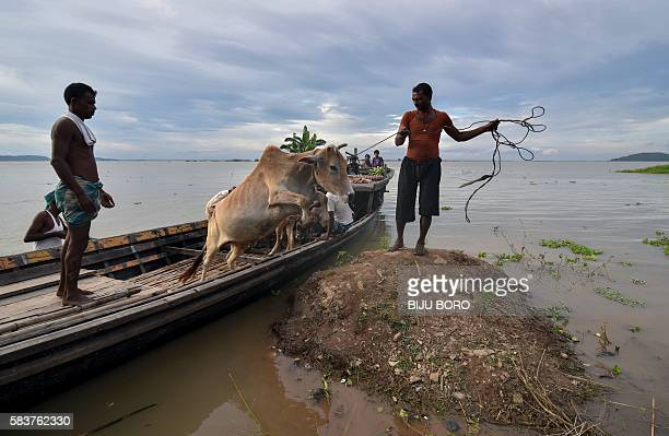 TOPSHOT A cow jumps from a boat as villagers transport it to dry land at Chandrapur village in Kamrup district some 30 km from Guwahati in Indias...