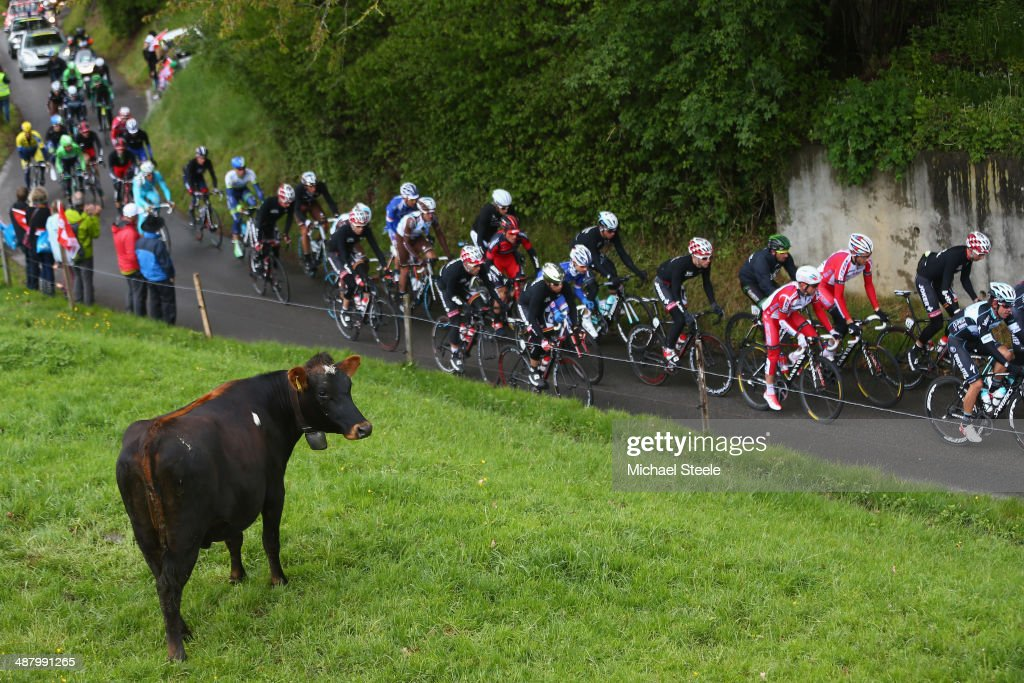A cow keeps its eye on the peloton during stage four of the Tour de Romandie from Fribourg to Fribourg on May 3, 2014 in Fribourg, Switzerland.