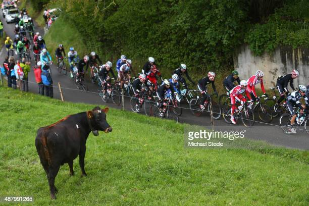 A cow keeps its eye on the peloton during stage four of the Tour de Romandie from Fribourg to Fribourg on May 3 2014 in Fribourg Switzerland