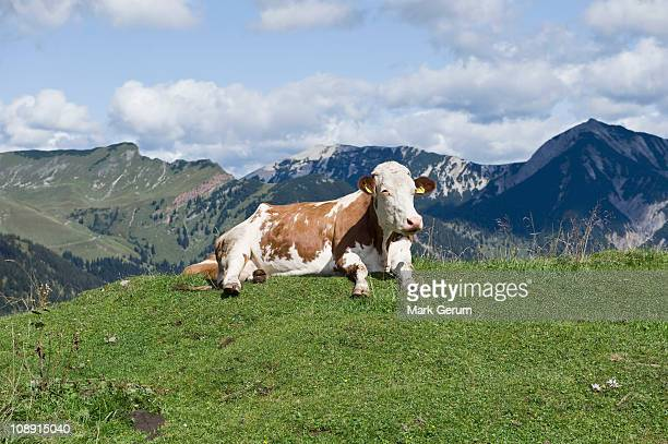 Cow Laying on a hilltop