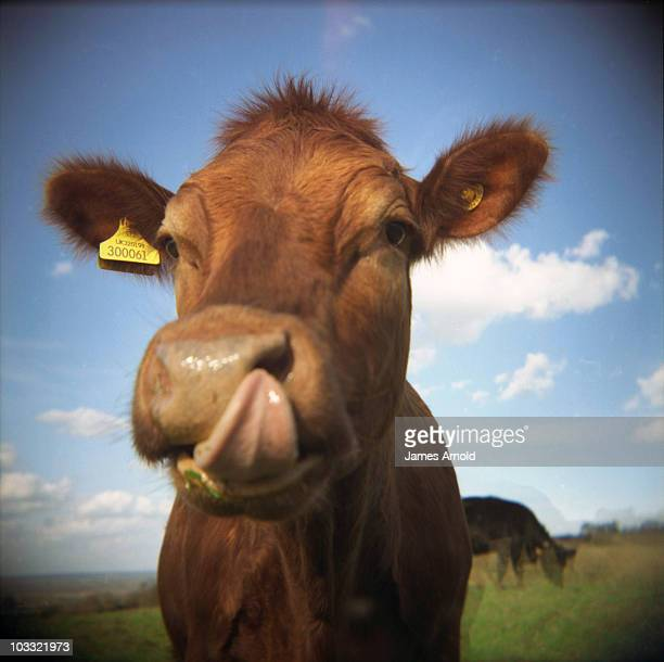 Cow licking its own nose