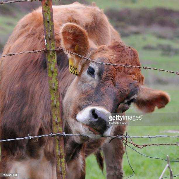 Cow looking through barbed wire fence, close-up