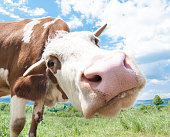 Side view of a cow on a pasture.