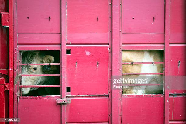 A cow looks out from a transport truck after being sold at the livestock market by auctioneers Greenslade Taylor Hunt at Sedgemoor market in...