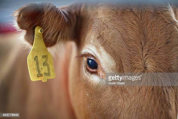 A cow looks out from its pen at the Iowa State Fair on August 6 2014 in Des Moines Iowa The fair opens to the public on August 7 2014 and runs...