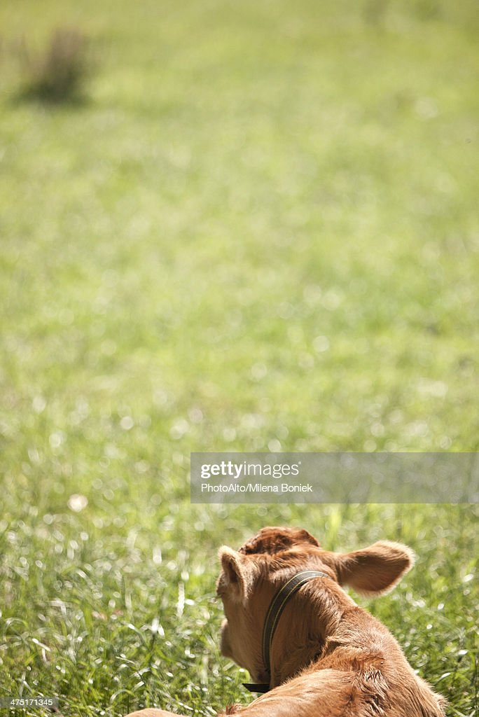 Cow lying on grass, rear view, cropped
