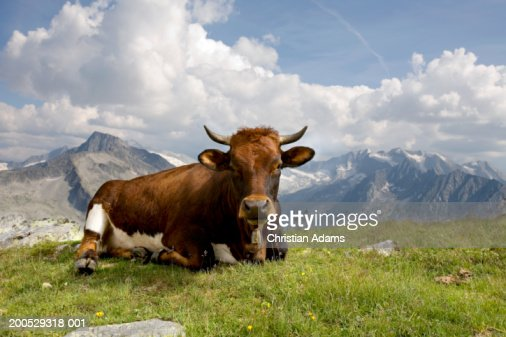 Cow lying on grass, with mountains in background : Stock Photo