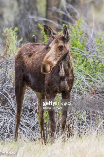 Cow moose (alces alces) standing near willow patch in springtime, Sublette County, Wyoming, USA