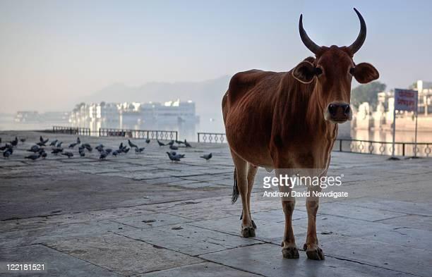 Cow near lake pichola, udaipur, India