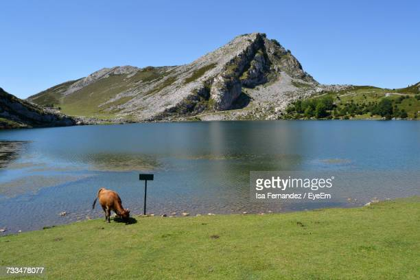 Cow Near Mountain By Lake Against Clear Sky