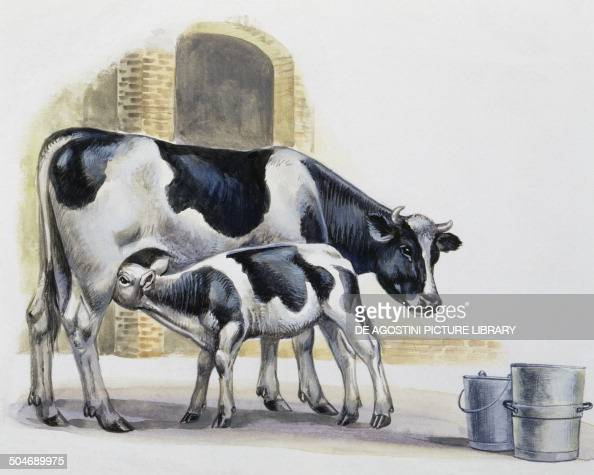 Cow Nursing Her Calf Bovidae Pictures Getty Images