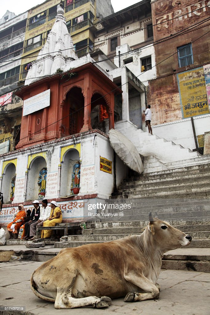 Cow on a ghat : Stock Photo