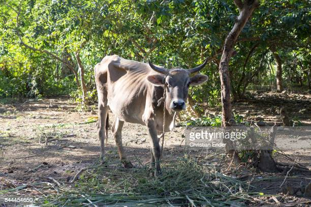 A cow on a lash is standing under a tree