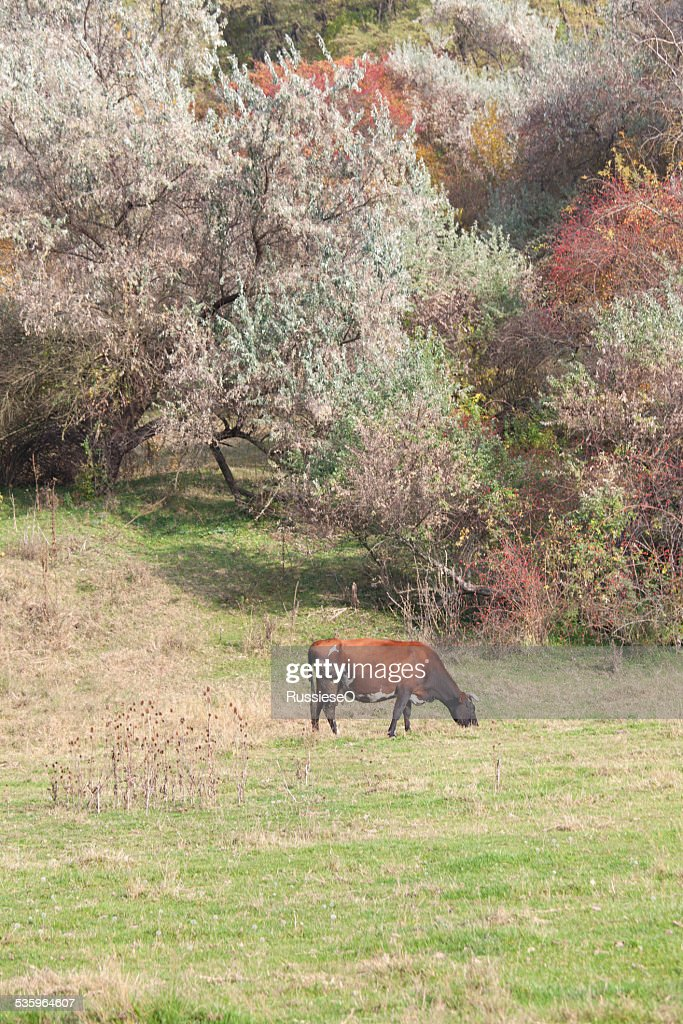 cow on a meadow : Stock Photo