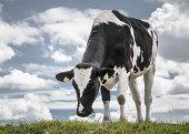 Cow on blue sky