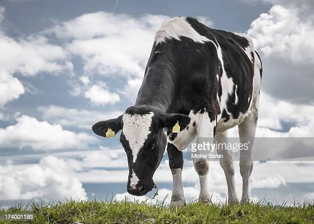 Cow on blue sky