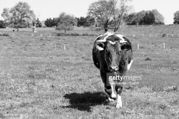 Cow On Field