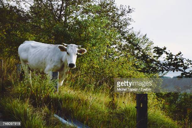 Cow On Grassy Field