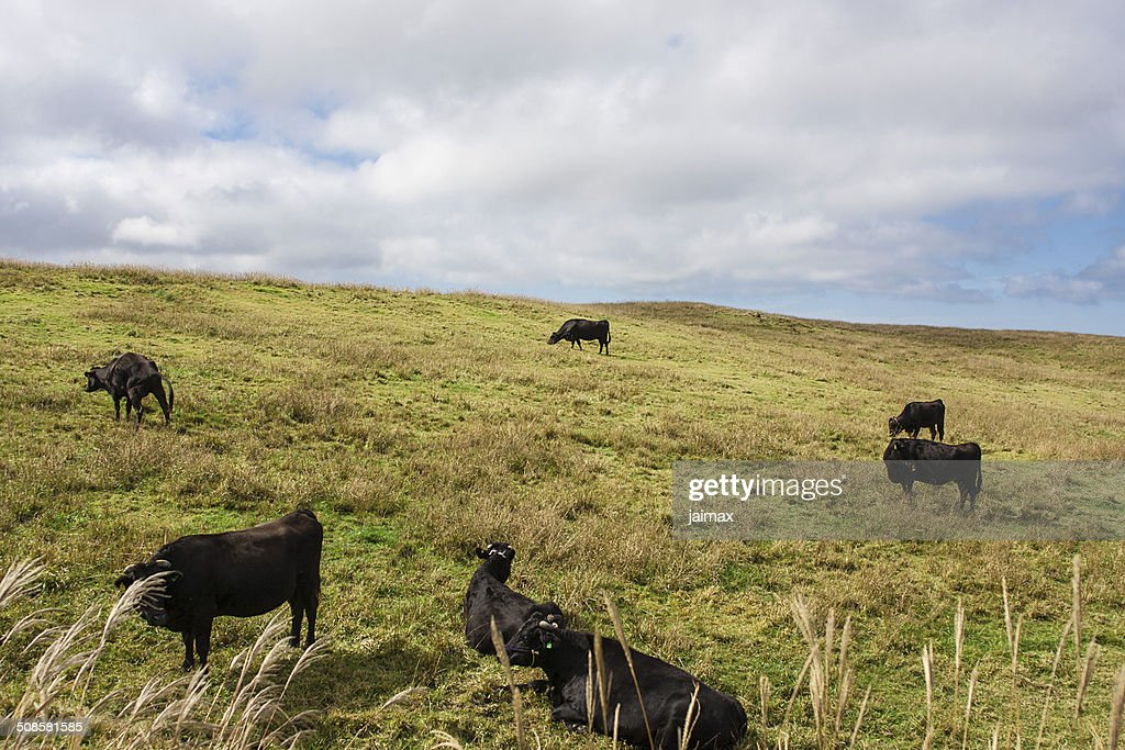 Cow on meadows : Stock Photo