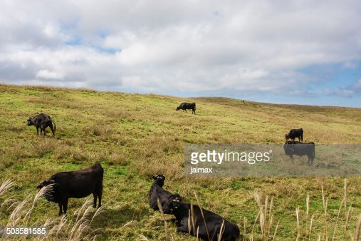 Cow on meadows : Stockfoto