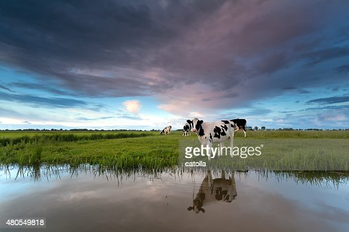 cow on pasture by river : Stock Photo