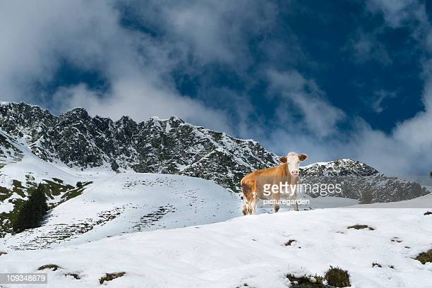 Cow on Snow Covered Meadow