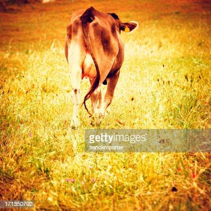 Cow on summer farm : Stock Photo