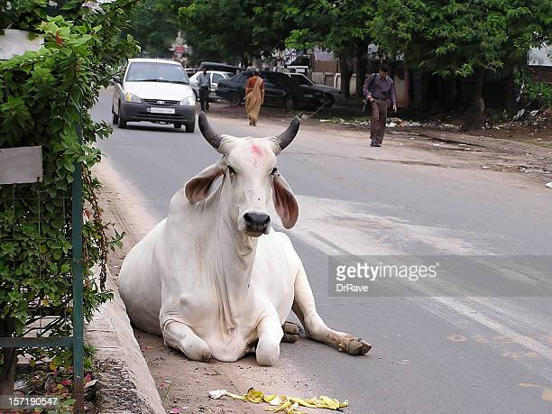 Cow on the road, India