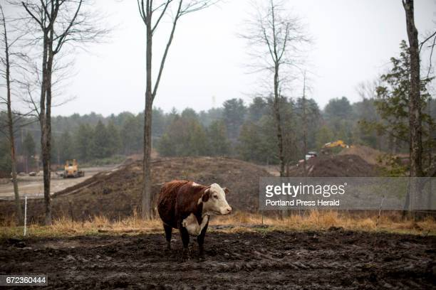 A cow out in a wooded area on Arthur Randall Jr's farm Randall uses soil that is dug up from other developments around on his land seen in the...