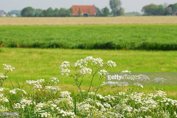 Wiesenkerbel Wachstum in der Landwirtschaft Landschaft.