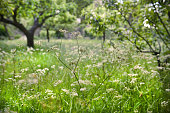 Cow parsley in an English orchard in spring/early summer