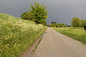 lots of white cow parsley along a road in the the countryside in holland with a dark stormy thundersky in the background