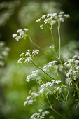 Cow Parsley in woodland