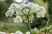 A photograph of Cow Parsley, taken from below.