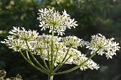 A close up photograph looking up at cow parsley flowers.