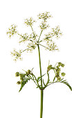 Cow parsley flowers and foliage isolated against white