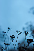 Silhouetted Cow Parsley seed heads in winter silhouetted against a toned winter sky.