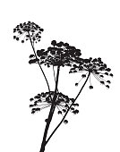 Black silhouette illustration of cow parsley