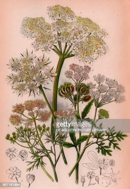1 Cow parsnep 2 Small hartwort 3 Great hartwort 4 Coriander 5 Hemlock chromolithograph ca cm 14x22 from The Flowering Plants Grasses Sedges and Ferns...