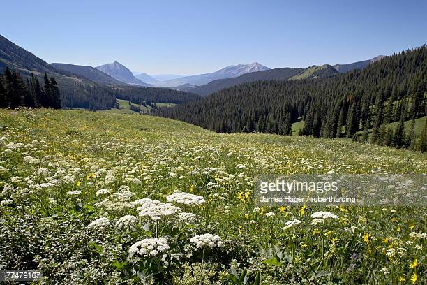 Cow parsnip (Heracleum lanatum) and Alpine sunflower (Hymenoxys grandiflora) with Crested Butte in the distance, Washington Gulch, Gunnison National Forest, Colorado, United States of America, North America
