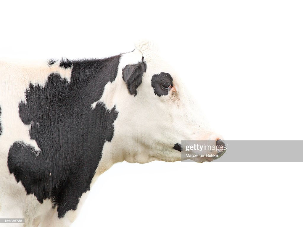 Cow profile : Stock Photo