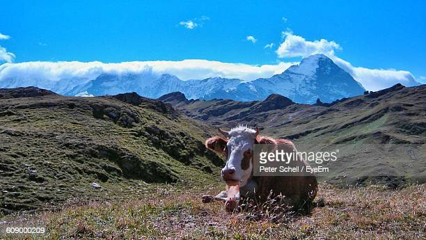 Cow Relaxing On Hill Against Blue Sky During Sunny Day