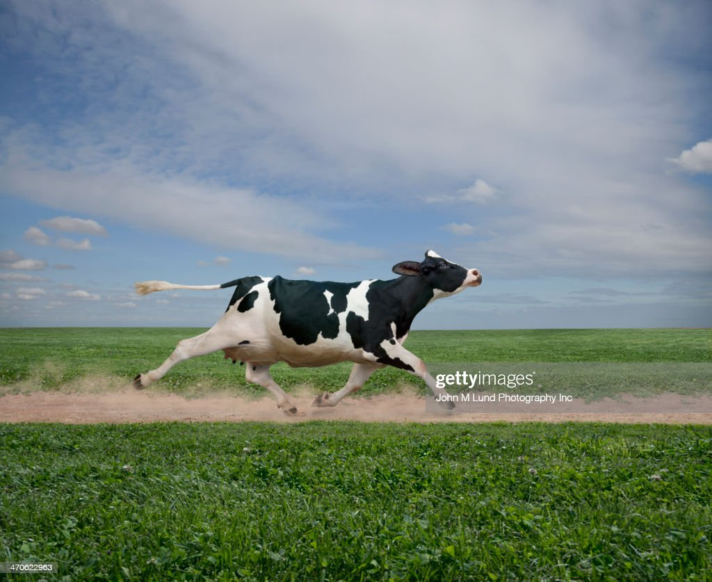 Cow running on dirt path in crop field : Stock Photo