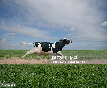 Cow running on dirt path in crop field