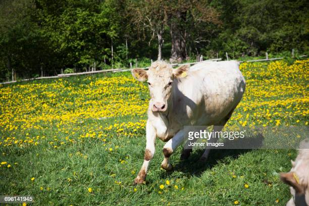 Cow running on meadow