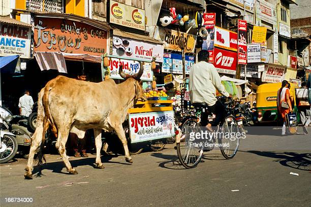 A cow shares the street with cyclists and pedestrians in Ahmedabad Holy cows are respected on the streets of India