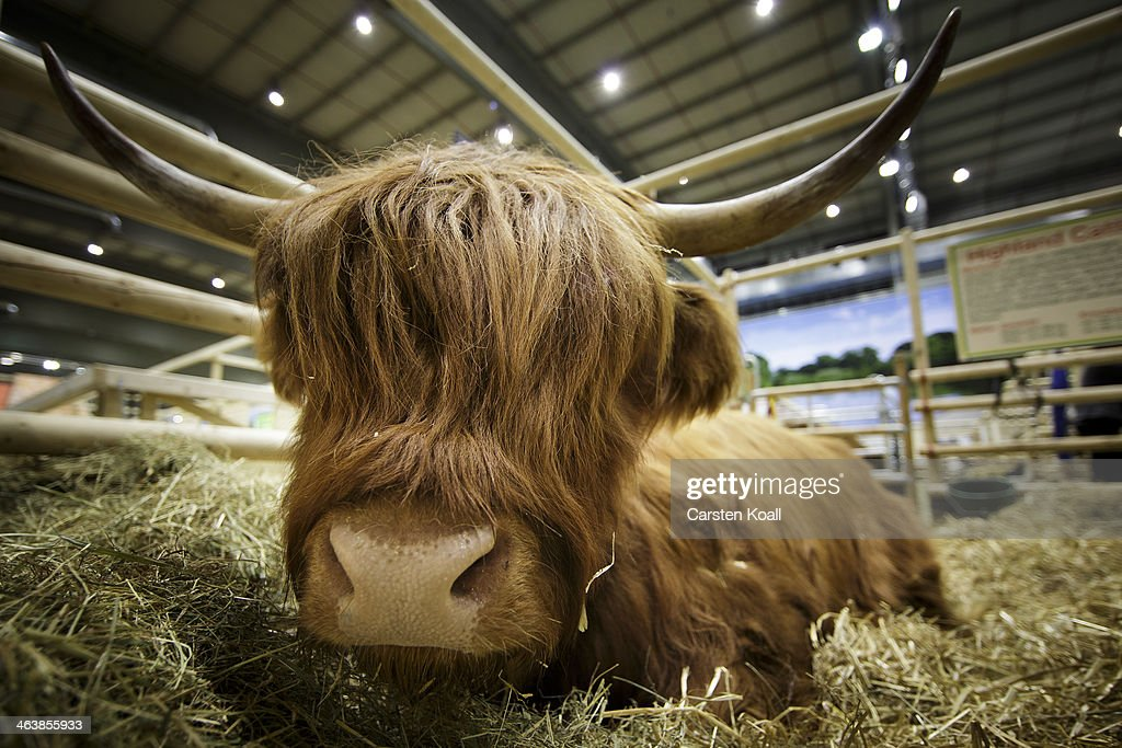 A cow sits in its enclosure in the farm animals Hall of the Gruene Woche International Agriculture Fair on January 19, 2014 in Berlin, Germany. The Gruene Woche is the world's largest agricultural trade fair and is open to the public until January 26.